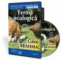 Cresterea gainilor Brahma in regim ecologic