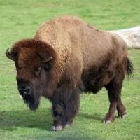 Afaceri rare in Romania: Primii pui de bizon american, crescuti in Transilvania, se exporta in Austria!