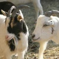 Ferma de capre - Afacerea viitorului in Romania!
