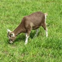 348,6 milioane de lei acordati pentru crescatorii de capre si oi!