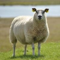 Subventia pentru ovine si caprine in zonele defavorizate!
