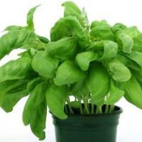 Afaceri cu plante aromatice: Oregano te poate imbogati!