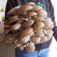 Castiga 31.700 euro pe an din cultivarea ciupercilor Pleurotus!