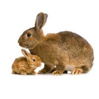 Cuniculicultura - afacerile cu iepuri sunt la inceput de drum