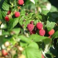 Fructele de lux din Apuseni, pe mesele nemtilor!