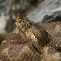 Ferma de vipere: Detalii despre Vipera ammodytes (vipera cu corn)