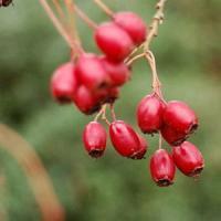 Afaceri agricole profitabile - Cele mai importante soiuri de coacaz rosu!
