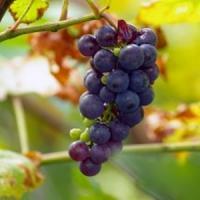 Statul va finanta 80 la suta din costul primelor de asigurare platite de catre viticultori