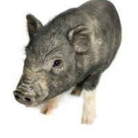 Porcul vietnamez - o afacere fara colesterol