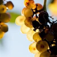 Afaceri cu vinuri de soi: Un nou soi de vita de vie romaneasca - Alb Aromat de Pietroasa!