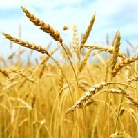 Care au fost cei mai mari producatori de cereale anul trecut?
