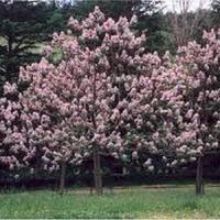 Cele mai importante beneficii ale lemnului de Paulownia