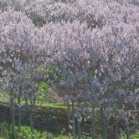 Afaceri sanatoase cu uluitorii copaci Paulownia