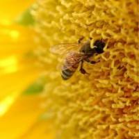 70 de procente din mierea ecologica din Romania merge la export!