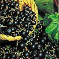 Afaceri agricole profitabile - Cele mai importante soiuri de coacaz negru!
