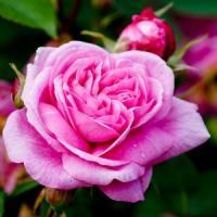 Cultivarea trandafirilor - noua afacere profitabila in Romania!
