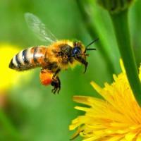 Cresterea albinelor pentru obtinerea de propolis valoros