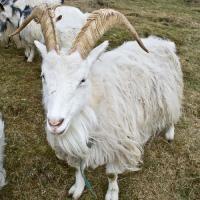 Afacerea cu capre - mai simpla decat ai crede!