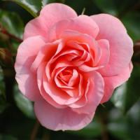 Trandafirii - afacerea secreta a agricultorilor romani!
