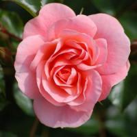 Dam start-ul la cele mai profitabile afaceri pentru cei cu teren: Cultivati trandafiri!