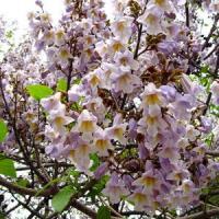 De ce ne-am infiinta o plantatie de copaci Paulownia?