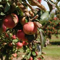Reguli de care sa tii cont cand plantezi pomii fructiferi!
