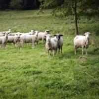 Strategie de succes in afacerile cu oi: Importul de berbeci de carne, din vest!