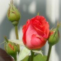 Pasiune si afacere - cultivarea trandafirilor pentru admirat sau mancat!
