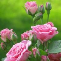 Trucuri si sfaturi la infiintarea unei culturi de trandafiri!