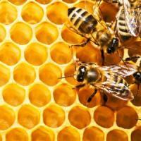 Mii de familii de albine au murit in judetul Olt din cauze ierbicidelor!