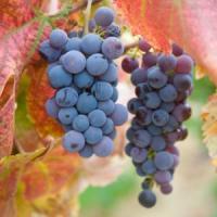 Vesti superbe pentru viticultori: 47.7 milioane de euro din partea UE, anual!