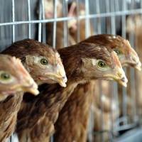 Biocarburantii si avicultura vor sustine cererea agricola europeana