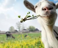 Afla cum sa obtii profit din cresterea caprelor