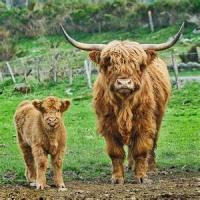 Investeste in cel mai nou trend: ferma de vaci scotiene!