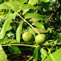 Afaceri profitabile cu plantatia de nuci Lara-Pieral