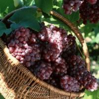 Vesti rele pentru viticultori: Ploile au compromis aproape o treime din productie!