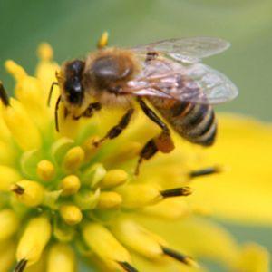 Cresterea albinelor  pentru productii mari de polen