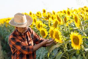 Care este momentul potrivit pentru combaterea bolilor la floarea-soarelui