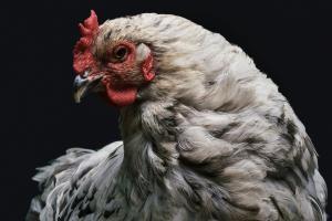 Cum asiguri confortul termic intr-o hala destinata cresterii gainilor ouatoare
